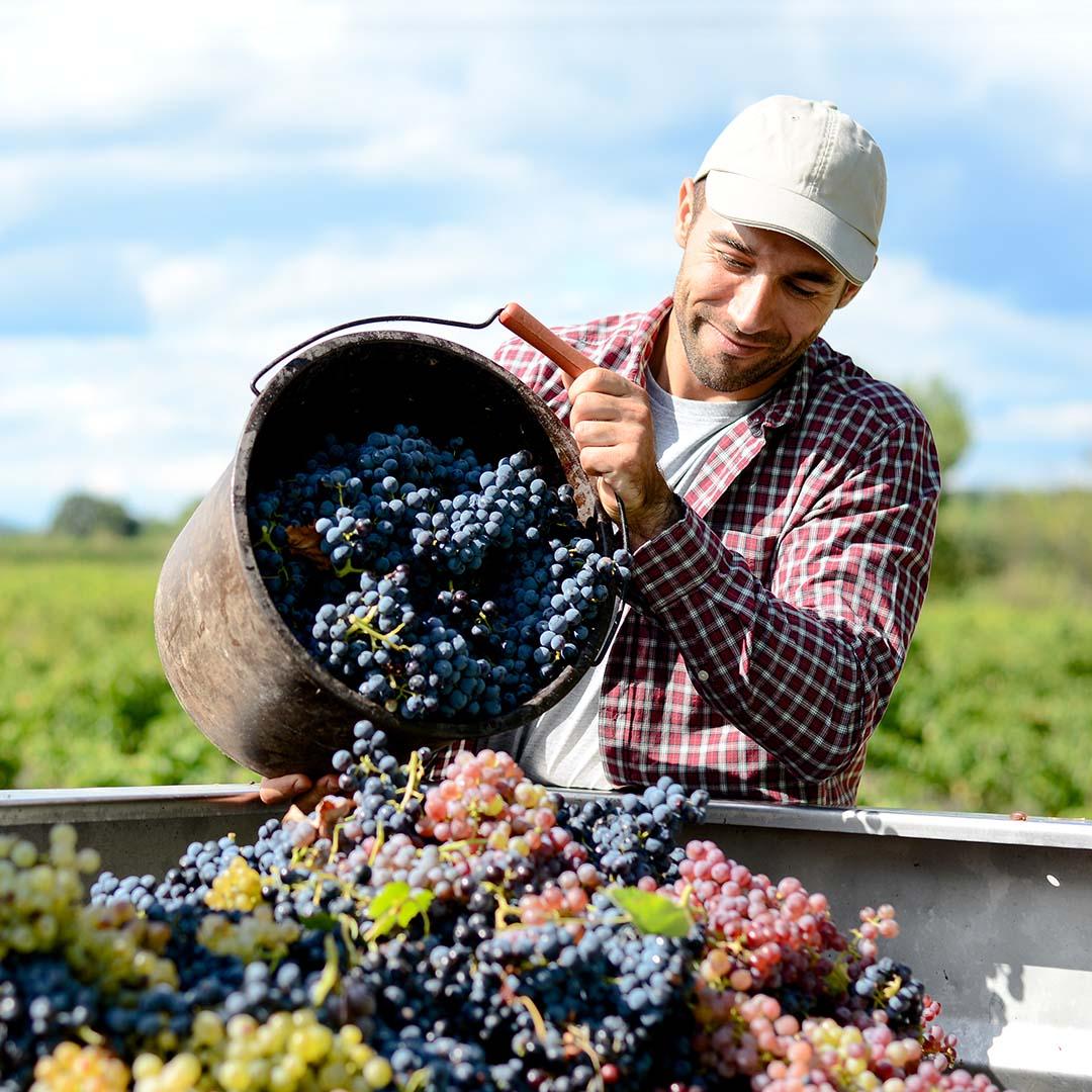 Récolte exploitation viticole